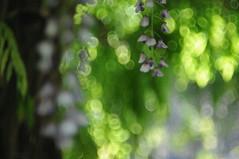 wisteria II (Frau Koriander) Tags: wisteria blauregen nikond300s helios helios44m6 weinheim weinheimanderbergstrase schauundsichtungsgarten hermannshof nature natur flora bokeh dof depthoffield deutschland germany wisterie glyzine glycine glycinie liane lila plant pflanze blüten