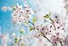 Sakura (Arijit_Roy) Tags: sakura cherry blossoms toronto high park pink flower