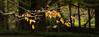 Gold (Eddy Summers) Tags: takumar takumar135mm takumar135mmbayonet pentaxk1 pentax pentaxaustralia k1captures landscape australia autumn vibrant saturated colourful everglades bluemountains leura
