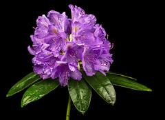 Rhododendron (ulrichcziollek) Tags: blume flower ericaceae strauch