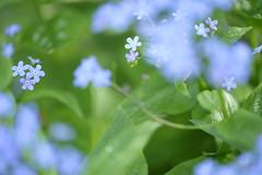 sky blue fantasy/空色ファンタジア (kurupa_m) Tags: flower plant blue macro spring hokkaido fujifilm xt10 勿忘草 ワスレナグサ 青 春 北海道