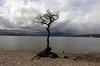 The Lonely Tree at Loch Lomond, SCotland (Sandra L Ekins) Tags: thelonelytree lochlomond scotland trossachspark water mountainside millarochybay