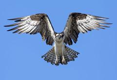 Osprey (Hockey.Lover) Tags: osprey
