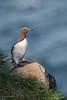 Guillemot 05-May-18 G 002 (gomo.images) Tags: 2018 aberdeenshire bird country guillemot nature rspbscotlandfowlsheugh scotland stonehaven years