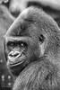 Gorilla Porträt (Marc Wildenhof) Tags: gorilla zoo frankfurt frankfurtammain affe menschenaffe primat säugetier mammal tier porträt gesicht hessen deutschland germany canoneos6d