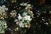 Chilean myrtle  (Luma apiculata) (Tatters ✾) Tags: newzealand flowers whiteflowers myrtaceae luma lumaapiculata