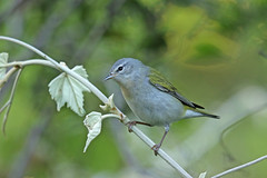 Tennessee Warbler (Alan Gutsell) Tags: birds birdsoftexas texas migration spring alan wildlife nature tennessee warbler tennesseewarbler galveston island lafittescove