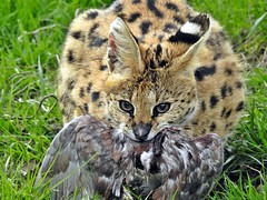 Tapas au naturel (columbo's dad) Tags: serval samia thebigcatsanctuary