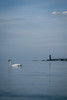 Swan in front of Laboe Memorial (boflemming) Tags: swan animal laboe kiel memorial baltic sea ocean coast beach