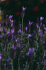 012-12Lost among the Spanish lavender (Eck-tor) Tags: lost among spanish lavender canon 5d classic 24770 f4l purple nature bees flowers