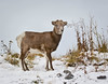 Rocky Mountain Bighorn Sheep (Turk Images) Tags: bighornsheep jaspernationalpark oviscanadensis rockymountainsheep alberta bovidae lamb mammals winter
