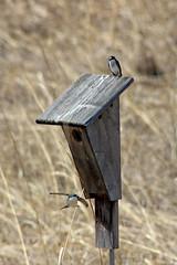 Tree Swallows (U.S. Fish and Wildlife Service - Midwest Region) Tags: nature wildlife minnesota mn april 2018 spring bloomington nesting nest nestbox box house bird birds birding swallow swallows treeswallow animal animals