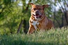 SHA_1648 (andreyshkvarchuk) Tags: dog doguedebordeaux mastiff animal pet 7d2