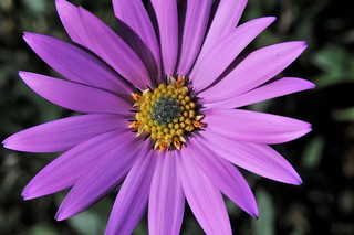 Dimorphothéca, Marguerite Africaine, Flower.