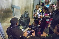 Press conference (Tim Brown's Pictures) Tags: washingtondc smithsonian nationalzoo zoo animals primates apes greatapes gorilla gorillas westernlowlandgorilla washington dc unitedstates