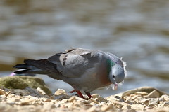 Stock Dove (Columba oenas) (sdflickr2) Tags: attenboroughnr nottinghamshire stockdove columbaoenas