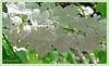 Wenn der weiße Flieder wieder blüht ...Weißer Flieder (magritknapp) Tags: weiserflieder äste blätter macro whitelilac twigs blades lilasblanc rameaux pales blancolila ramitas láminas lilásbranco ramos folhagem biancolillafuscellilamellewitte lila twijgen lemmeten vitlila grenar lövverk biały liliowy gałązki żyletki
