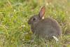 IMG_5541.jpg (Hans Van Loy) Tags: dieren gewervelden hazen konijn zoogdieren
