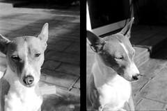 Basenji Diptych (bac1967) Tags: mercury mercuryii mercuryiicamera halfframe halfframecamera blackandwhite blackandwhitefilm black blackwhite monochrome monotone bw white kodak kodakfilm panatomicx kodakpanatomicx rodinal rodinal150 adonal adox diptych washington wa washingtonstate vera rachael basenji dog bitches basenjis cute littledoglaughedstories littledoglaughednoiret