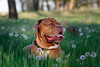 SHA_1869 (andreyshkvarchuk) Tags: pet animal dog doguedebordeaux 7d2 mastiff spring summer forest trees grass