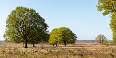 Bomen op het Deelense veld ... (doevos) Tags: gelderland hogeveluwe npdhv nationaalparkdehogeveluwe nederland netherlands veluwe wandelfit hoenderloo nl