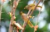 Stripe-throated Bulbul (Pycnonotus finlaysoni) (Steve Arena) Tags: kaengkrachan thailandbirding2017 thailand 2017 nikon d750 bird birds birding nature bansongnok petchaburi phetchaburi stripethroatedbulbul bulbul pycnonotusfinlaysoni