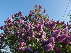 Buzzing in the lilac, full of wild bees and bumblebees (Elise de Korte) Tags: fr france frankrijk ldf lafrance syringavulgaris bloei bloeien bloem bloemen commonlilac fleur fleurs flower flowering flowers plant sering