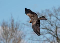 Kite Flying (Ukfalc) Tags: yellowbilledkite kite milvusaegyptius bird birdofprey raptor animal icbp internationalcentreforbirdsofprey newent gloucestershire canon 7dii 70300l 2018