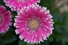 DSC09153 (PeterazziMuilman) Tags: keukenhof keukenhof2018 tulipsgarden flowergarden lisse colorful bulbs romanceatkeukenhof sony sonya7r3 alpha7rm3 a7r3 ilce7rm3 ilcea7r3 sel2470gm sonyfe2470f28gm sonyfe282470gm