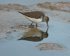 Solitary Sandpiper- Wingfield Pines (jimbobphoto) Tags: sandpiper bird wade nature wetlands reflection migration water mud pond animal beak