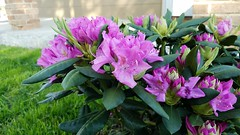 our first rhododendron (yumievriwan) Tags: rhododendron flower pennsylvania pink myyard bethlehempa