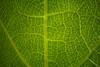 grape leaf 89 (muratrimed) Tags: üzüm yaprak grape leaf focusstacking sonya99 sony süpermakro sonyalpha