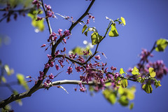 Blue Berry Tree Dallas 3 (Mabry Campbell) Tags: dallas tx texas usa unitedstatesofamerica blossom blue flowers image leaves nature photo plant spring springtime tree f32 mabrycampbell march 2018 march22018 20180302downtowncampbellh6a2014 200mm ¹⁄₃₂₀sec 100 ef200mmf28liiusm