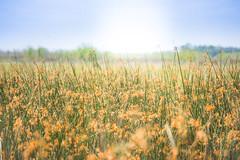 Marsh Meadow (delefleur) Tags: marsh wetland swamp bayou neworleans louisiana sun flowers grasses sky