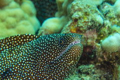 eelMar30-18 (divindk) Tags: gymnothoraxmeleagris hawaii hawaiianislands maui underwater diverdoug eel fearsome hunter jaws marine morayeel ocean predator reef sea spots teeth underwaterphotography whitemouthmoray