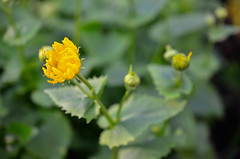Spring vibes (Villikko) Tags: spring kevät nature luonto kasvi plant kukka flower finland suomi vuohenjuuri