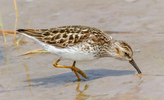 Least Sandpiper foraging (tresed47) Tags: 2018 201805may 20180509njwetlandsbirds birds canon7d content folder leastsandpiper may newjersey peterscamera petersphotos places sandpiper season shorebirds spring takenby us wetlandsinstitute