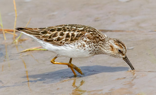 Least Sandpiper foraging