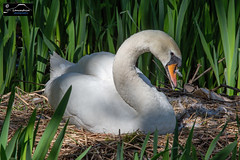 Nesting Swan (Lancashire Photography.com) Tags: nesting swan whittle le woods lancaster canal leeds liverpool lancashire photography