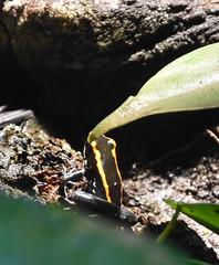 Poison Dart Frog (Adventurer Dustin Holmes) Tags: 2018 wondersofwildlife frog poisonfrog poisondartfrog poisonarrowfrog animal animals dendrobatidae animalia chordata amphibia neobatrachia anura dendrobatoidea amphibian