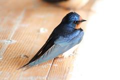 A Barn Swallow resting on a bench (Peachea) Tags: barnswallow swallow bluebird shinyblue urbanwildlife