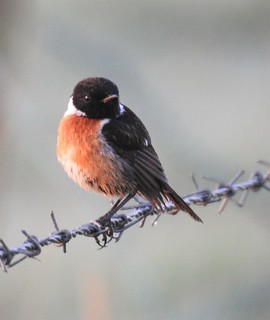 Stonechat on Barbed Wire - Cresswell Ponds