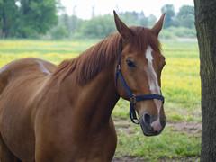 Schönes Haar ist Dir gegeben.... (BeMo52) Tags: allerhop animals czjtessar duhastdiehaareschön fauna natur nature pferde tiere weide