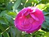 2018 Germany // Unser Garten - Our garden // im Mai // Rose Rugosa von Ruf (maerzbecher-Deutschland zu Fuss) Tags: garten natur deutschland germany maerzbecher garden unsergarten 2018 mai rose rugosa ruf
