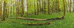 Woodland Panoromic (trevorhicks) Tags: horrabridge england unitedkingdom gb woodland wood forest flowers bluebells trees devon bark branches sky canon 5d mark iv tamron