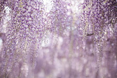 Untitled (けんたま/KENTAMA) Tags: wisteria spring may light 藤 planart1450 6d bokeh