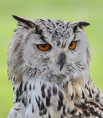 Eagle Owl (andymoore13) Tags: eagleowl canon 50d 70200mmf4l nature wildlife bird