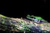 Chalcorana raniceps. White lipped frog. Kuching (Phalinn Ooi) Tags: amphibian frog animal the7thinternationalborneanfrograce2018 frogs amphibians anurans wildlife animals flora fauna nature naturalist life jungle rainforest night trees outdoor adventure lundu matang kuching sarawak borneo malaysia asia explore travel wanderlust holiday tour jalan cuti food city town capital building architecture heritage rajahs cafe river landmark scenery beautiful landscape love people photography bokeh macro portrait camera dslr canon eos 5dm4 5dmarkiv mahathir anwar najib sky cloud shop lizard
