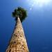 Arizona Palm