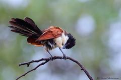 The Rainbird (leendert3) Tags: leonmolenaar southafrica krugernationalpark wildlife nature birds burchellscoucal